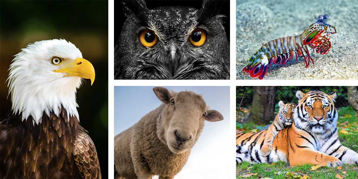 collage of animals with the best vision, including an eagle, owl, sheep, mantis shrimp, and tiger