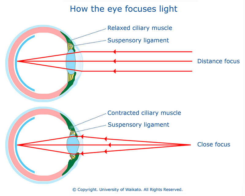diagram illustrating how the eye focuses light. exhibit A shows an eye with a relaxed ciliary muscle for distance viewing. Exhibit B shows an eye with contracted ciliary muscles and a contracted lens for close distance viewing.
